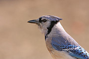 Wildlife Pyrography -  Blue Jay posing by David Cutts