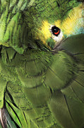 Red Feather Prints -  Bluefronted Amazon Parrot Print by Neil Overy