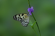 Blooms  Butterflies Photo Posters -  Butterfly on Flower  Poster by Sandy Keeton