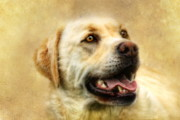 Labrador Digital Art Metal Prints -  Cass Metal Print by Trudi Simmonds