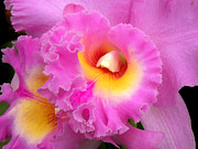 Cattleya Photo Framed Prints -  Cattleya Orchid 1 Framed Print by Julie Palencia