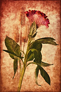 Texture Floral Mixed Media Prints -  Celosia Print by Angela Doelling AD DESIGN Photo and PhotoArt