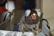 Barry R Jones Jr Digital Art Acrylic Prints -  Chewy The Marmoset Acrylic Print by Barry R Jones Jr