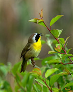 Birds -  Common Yellowthroat Warbler Warbling DSB006 by Gerry Gantt