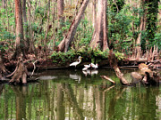 Feeding Photographs Prints -  Cypress Swamp  Print by Peg Urban