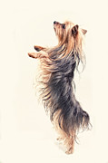 Background Digital Art Posters -  Dancing Yorkshire Terrier Poster by Susan Stone