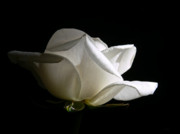 White On Black Prints -  Evening Light White Rose Flower Print by Jennie Marie Schell