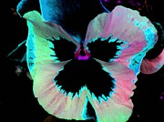 Black Prints -  Fancy Pansy Print by Shirley Sirois