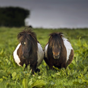 Pony Photos -  Fluffy Round Rockstars by Angel  Tarantella