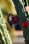 Gila Woodpecker Framed Prints -  Gila Woodpecker on Cactus Framed Print by Tracey Hunnewell