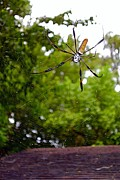 Central Florida Framed Prints -  Golden Silk Orb Weaver 2 Framed Print by Christopher  Mercer