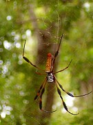 Central Florida Framed Prints -  Golden Silk Orb Weaver 4 Framed Print by Christopher  Mercer