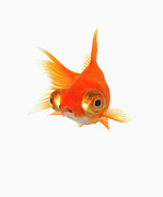 In The Studio Prints - Goldfish With Big Eyes Print by Don Farrall