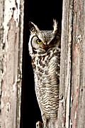 Great Birds Posters -  Great Horned Owl perched in barn window Poster by Mark Duffy