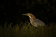 Secretive Birds Posters -  Green Heron Poster by Anne Rodkin