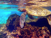 Hawaiian Green Sea Turtle Photos -   Honu on the Reef by Bette Phelan