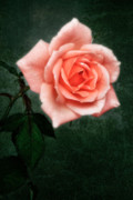 Apricot Posters -  Hybrid Tea Rose variety Congratulations Poster by John Edwards
