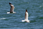 Flying Seagulls Originals -  In Flight by Trevor C Steenekamp