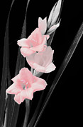 Glads Prints -  In the Pink Print by Karl Voss