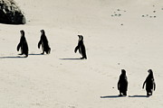 Image Of Bird Prints -  Jackass Penguins walking on beach Print by Sami Sarkis