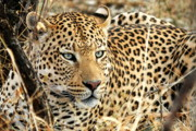 Leopard Eyes Print by Tom Cheatham