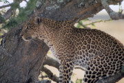 Bigcat Photos -  Leopard in a Tree by Carl Purcell