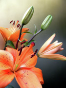 Plant Greeting Cards Prints -  Lilies 2 Print by Julie Palencia