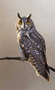Owl Posters -  Long-eared Owl Poster by Mircea Costina Photography