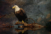 Birds Of Prey Mixed Media Prints -  Magestic Eagle  Print by Elaine Manley