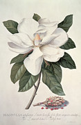 Plants Painting Prints -  Magnolia Print by Georg Dionysius Ehret