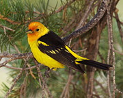 Tanager Originals -  Male Western Tanager by Tom Cheatham