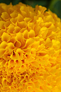 Floral Photo Originals -  Marigold Macro View by Atiketta Sangasaeng