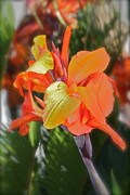 Canna Posters -  Orange Bright Poster by Maureen J Haldeman