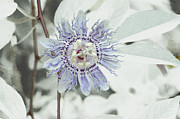 Inviting -  Passion Flower On White by Tom Wurl
