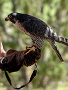 Peregrine Falcon Beautiful Wildlife Wings Beak Eye Bird Birds Predator Nature  Framed Prints -  Peregrine Falcon Hunter Framed Print by LeeAnn McLaneGoetz McLaneGoetzStudioLLCcom