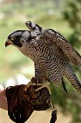 LeeAnn McLaneGoetz McLaneGoetzStudioLLCcom -  Peregrine Falcon