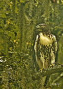 Hawk Photographs Prints -  Red-Tail Posing Print by Phill  Doherty