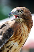Red-tailed Hawk Prints Posters -  Red Tailed Hawk Poster by Francie Davis