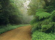 Gravel Road Prints - Road Through Subtropical Rainforest In The Border Ranges National Park, World Heritage Area, New South Wales, Australia Print by Peter Walton Photography