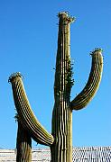 Deserts Prints -  Saguaro Print by Heather S Huston