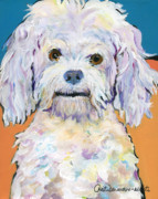 White Poodle Framed Prints -  Snowball Framed Print by Pat Saunders-White