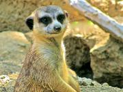 Meerkat Posters -  So Cuttie  Poster by Debra     Vatalaro