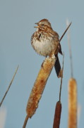 Singing Photo Originals -  Song Sparrow by Tom Cheatham