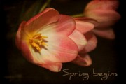 Tulips -  Spring begins by Cathie Tyler