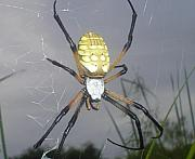 Insects Pastels -  Texas Garden spider by Evelyn Patrick
