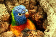 Lorikeet Photos -  The World Outside My Door by Trudi Simmonds