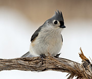 Titmouse Photo Originals -  Tufted Titmouse by Roni Chastain