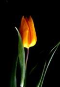 Tulip Fire Print by Valia Bradshaw