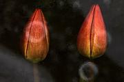 Tulips Print by Odon Czintos