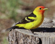 Tanager Originals -  Western Tanager by Tom Cheatham